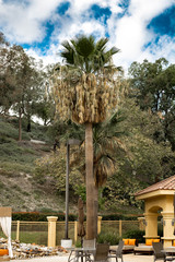 California Palm