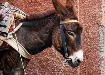 Mule in the streets of Marrakesh, Morocco