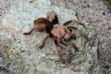 Tarantula spider sunning itself on a rock in its environment.