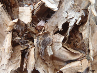 Close up of the bark of the australian paperbark tree