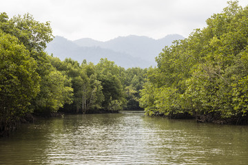 River cruise showing the Mangrove tree in the green salt water in Kilim park Langkawi, Malaysia