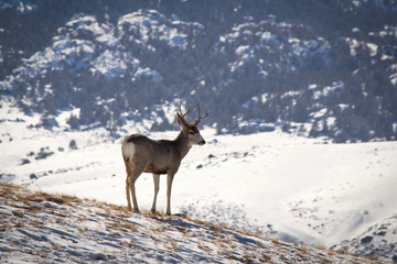 One male elk with antlers standing on a slope in a white winter landscape