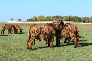 Poitou donkeys at Ré Island, France