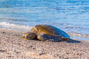 Turtle Sleeping on the Beach