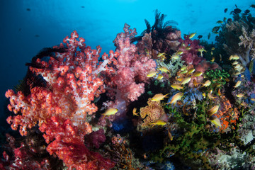 Vibrant Coral Reef in the Philippines Near Cabilao Island