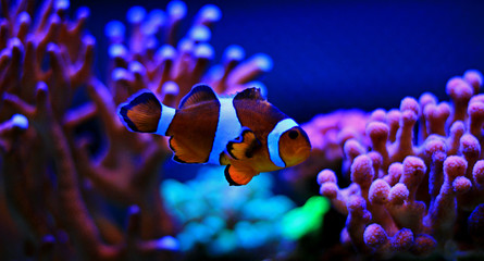 mr.Clownfish - the most popular saltwater fish in coral reef aquariums