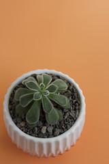 Fuzzy Echeveria Plant with Peach Background