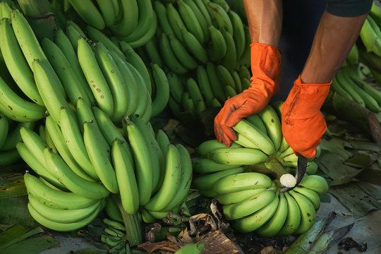 close up a man cutting the banana branches at banana farm