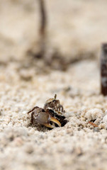 Fiddler crab Uca panacea comes out of its burrow in the marsh