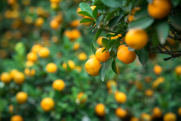 Kumquat tree. Together with Peach blossom tree, Kumquat is one of 2 must have trees in Vietnamese Lunar New Year holiday in north.