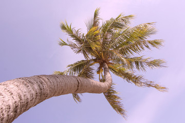 palm tree on blue sky and white clouds.