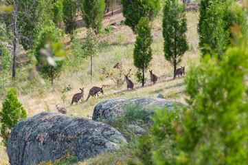 Kangaroo mob in a wild