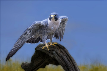 Peredine falcon on log Wall mural