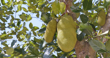 jackfruit Tree and young jackfruit