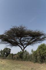 Acacias Tree in Addis Ababa Ethiopia, Africa