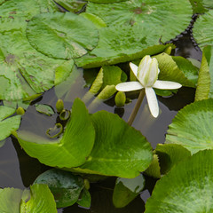 single white lotus blossom with raindrops in pond