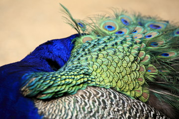 The peacock showing off its tail