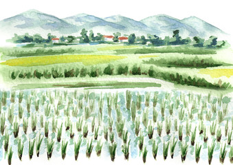 Rice field   background. Watercolor hand drawn illustration