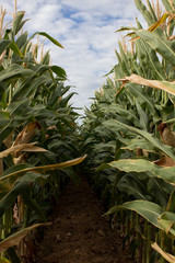 Into the Corn Rows