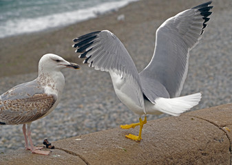 White and grey seagull