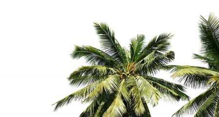 Wall Mural - Coconut palm tree leaves isolated on white background