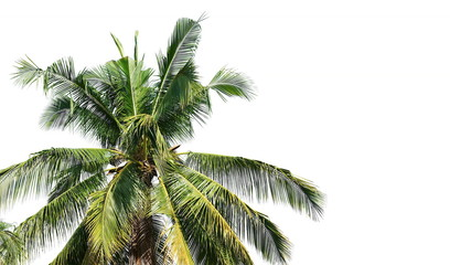 Wall Mural - Coconut palm tree isolated on white background