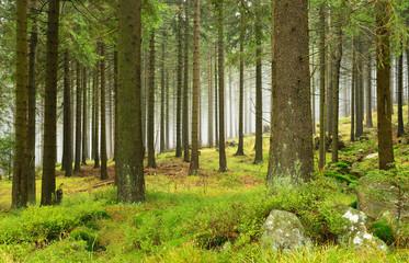 Fichtenwald mit Nebel, Nationalpark Harz, Deutschland