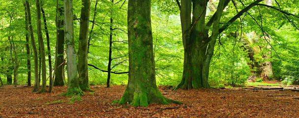 Unberührter Wald, riesige Buchen, mit Moos bedeckt