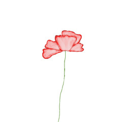 Red poppy on white background, illustration, drawing, template.