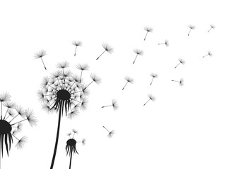Dandelion flowers on white background.