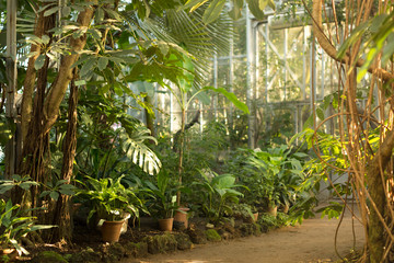View of an old tropical greenhouse with evergreen plants, palms, lianas on a sunny day with beautiful light in St. Petersburg/