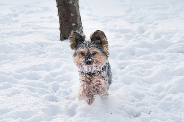 Yorkshire Terrier running in the snow
