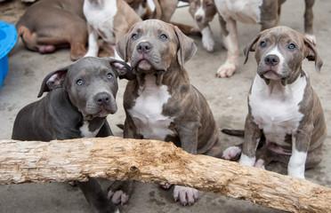 American Staffordshire Terrier Kaufen Schweiz