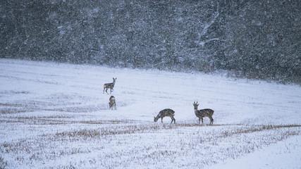 Wild roe deer herd in a snowstorm