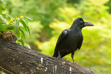 The crow on the branch in a nature background.