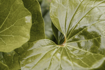leaf of the palma (closeup)