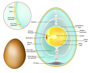 The structure of a chicken egg. Chicken Egg Development