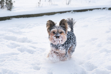 yorkie running in the snow
