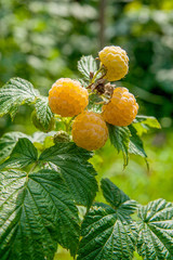Close up of the ripe and unripe yellow raspberry in the fruit garden. Growing natural bush of yellow raspberry. Branch of yellow raspberry in sunlight..