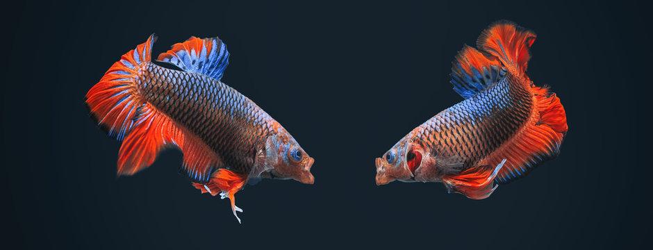 Betta Splendens - Fighting Fish - Kampffisch
