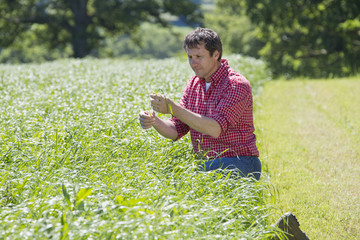 Farmer checking silage grass crop in field