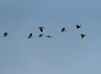 small flock of African geese (Alopochen aegyptiaca) in the sky over the Zambezi river in Zambia