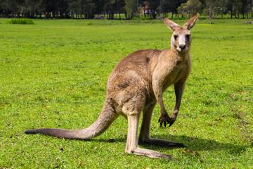 Kangoroo Wildlife Australia