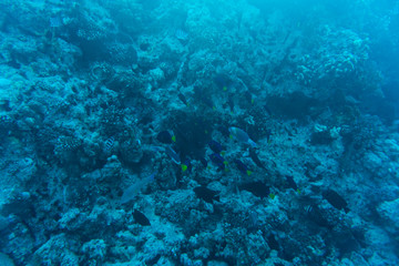 Young coral reef formation on sandy sea bottom. Deep blue sea perspective view with clean water and sunlight. Marine life with animals and plant.