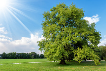 Large Oak Tree Tree on a Green Meadow