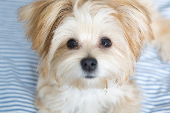 Sweet Morkie Puppy looking directly at the camera.