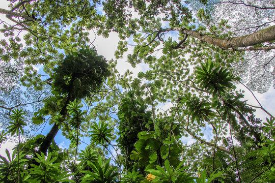Upward view of huge trees in tropical rainforest. Manoa Falls, Honolulu, Oahu