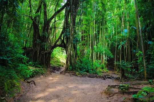 Manoa Falls, Honolulu, Hawaii - November 20, 2017: Local little red riding hood is often seen hanging off the natural banyan tree arch on manoa falls trail in manoa, near honolulu hawaii Oahu USA