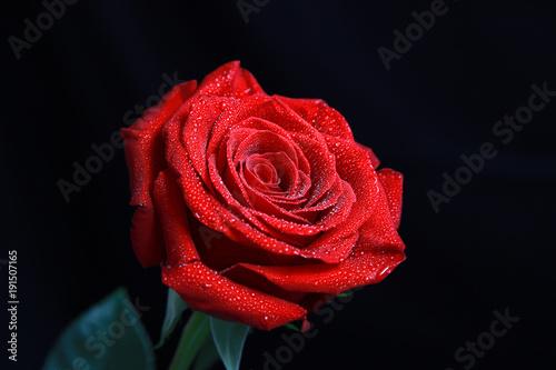 rote rosen stockfotos und lizenzfreie bilder auf bild 191507165. Black Bedroom Furniture Sets. Home Design Ideas