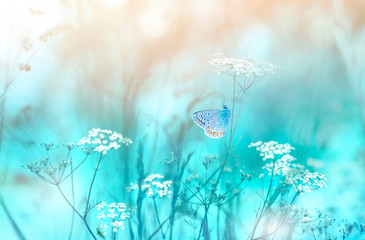 Wall Mural - Gentle natural background in pastel colors with a soft focus of blue and beige shades. Flowering plant white umbellate inflorescences of wild meadow grass and butterfly in spring in nature macro.